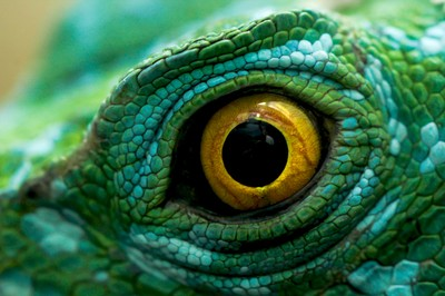 The eye of the Jesus Christ lizard