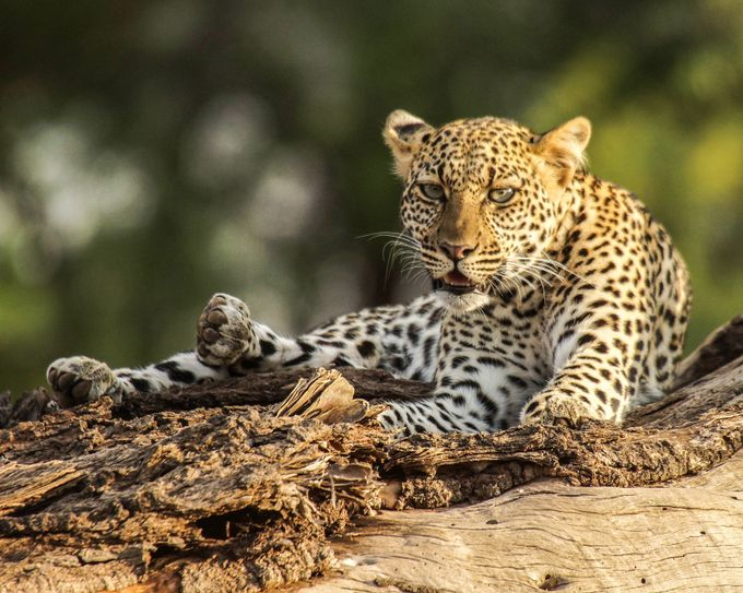 leopard by ScottELB - Explore Africa Photo Contest