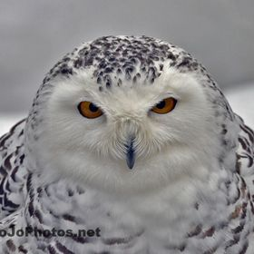 This Snow Owl appeared to be staring right back through the lens at me.