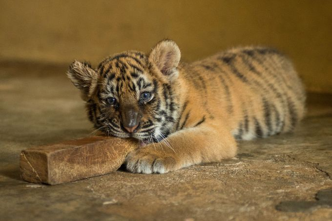 Tiger Cub by SteveFreeman - Baby Animals Photo Contest
