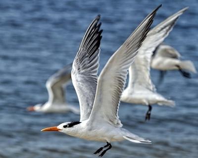 Royal Terns Flying