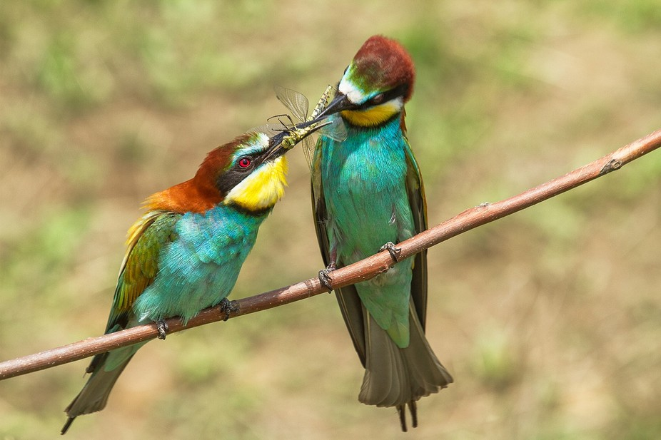 couple of bee-eaters .  male (right of image) gives his lady a dragonfly, as a wedding gift