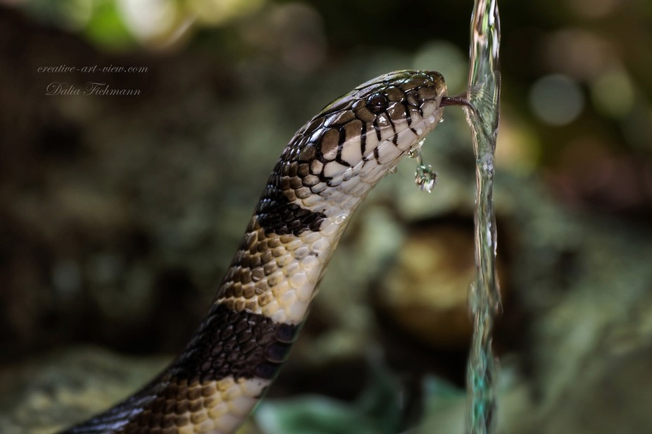 Naja annulata or banded water cobra or the ringed water cobra (Boulengerina annulata)