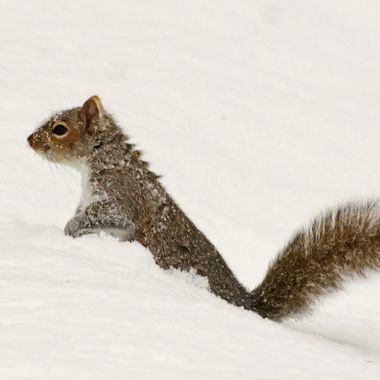 A grey squirrel making its way through fresh snow.