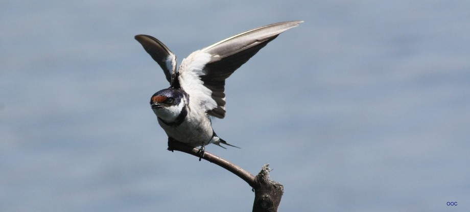 The most gorgeous of all Swallows.