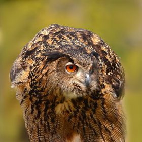 This Eurasian Eagle Owl has spotted something interesting.