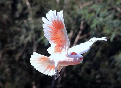 Major Mitchell Cockatoo in Flight
