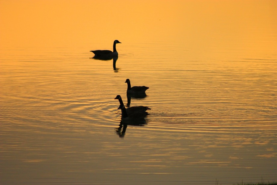 These geese showed up while I was taking pictures of the sunrise, timing is everything !