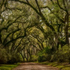 Arching oak trees leading to an old plantation home.