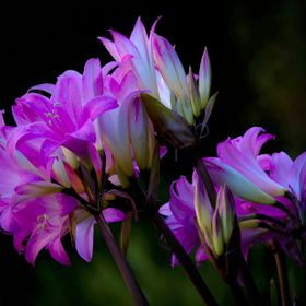 Amaryllis is a small genus of flowering bulbs, with two species. The better known of the two, Amaryllis belladonna, is a native of the Western Ca...