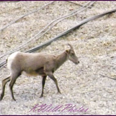 one of the seven Big Horn Sheep