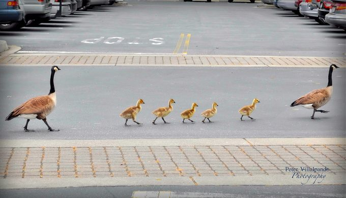 Family on a stroll by mulliganpete - Baby Animals Photo Contest
