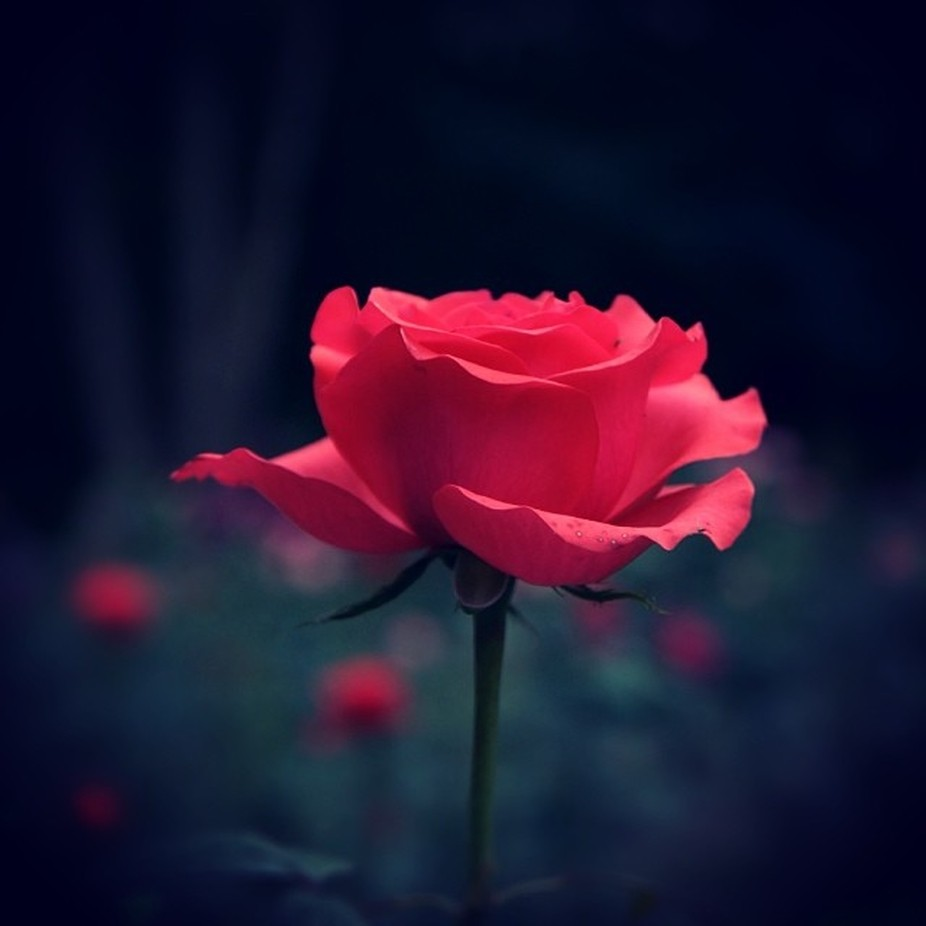 Petals around the rose! by cristianstef - TiltShift Effect Photo Contest