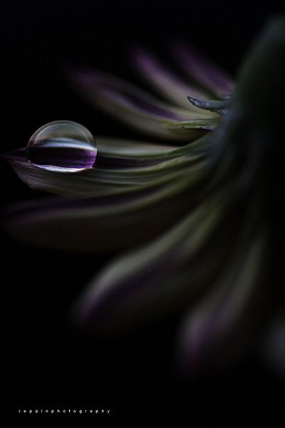 The Purple Pearl