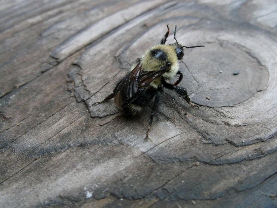 Female Bumble