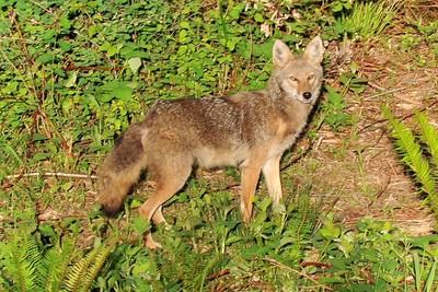 Female coyote2