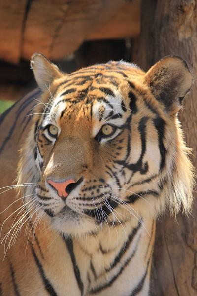 Intent tiger