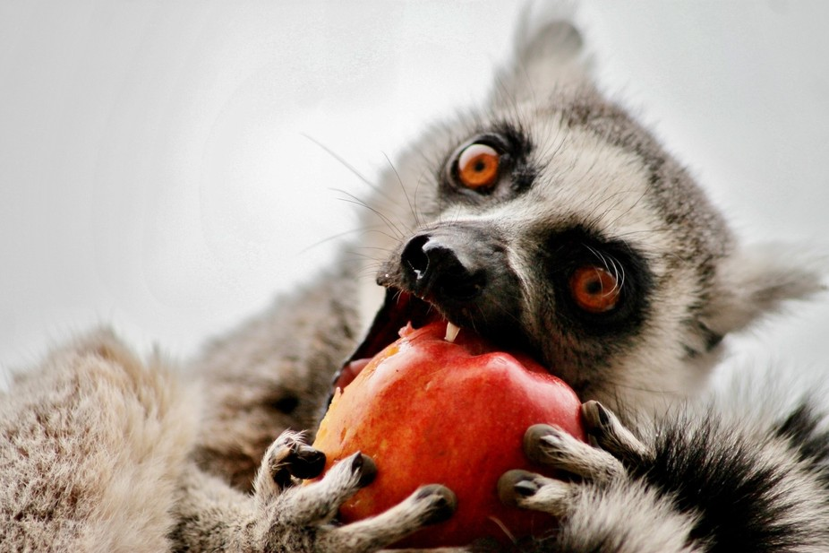 Lemur and apple. South Lakes Animal Park, Cumbria. UK. This was taken 5 minutes after we arrived ...