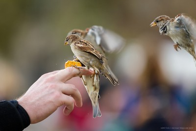 Swift Sparrows