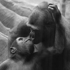 Tell me there is no love between mother and baby animals? Mom and child gorilla