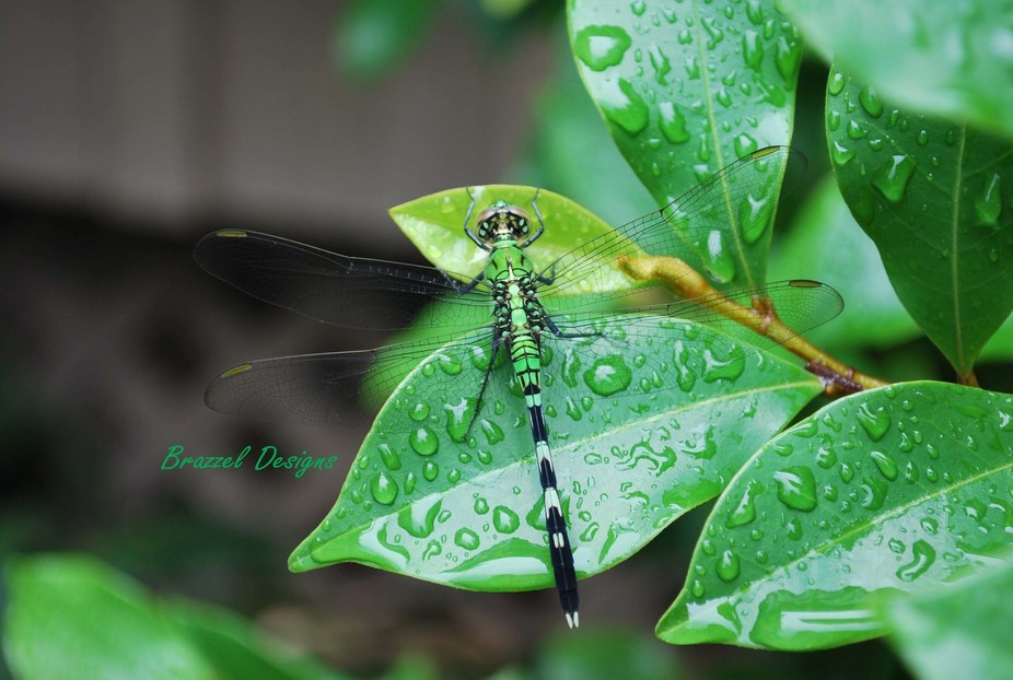 Dragonfly after a rain.