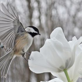 chickadee landing on the tulip