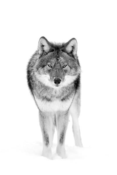 The Stare - coyote