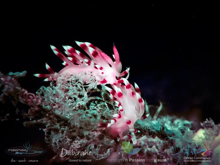 Nudibranch ( Sea Slugs )