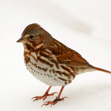 A fox sparrow standing on snow.