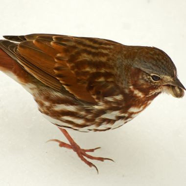 A fox sparrow with a sunflower seed in its beak.