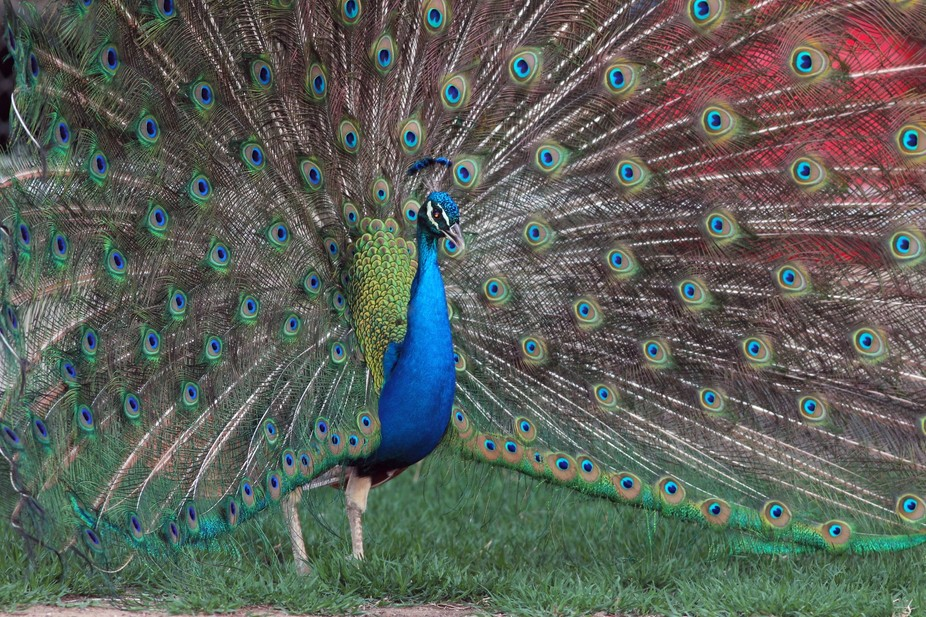Male Peacock in his defensive dance.