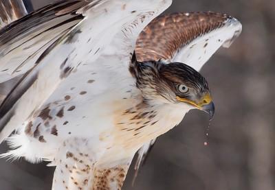Ferruginous Hawk - P4052127