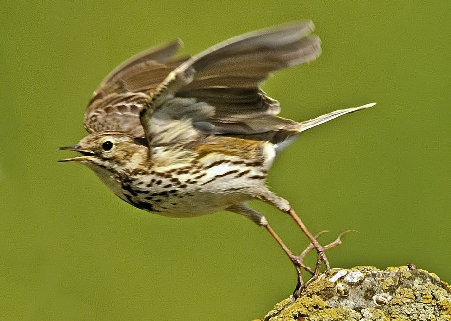 A meadow lark takes off to soar upwards ,singing all the while