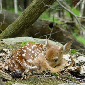 New born fawn sleeping quietly in the forest, keeps one eye on the photographer.