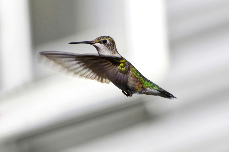 A female Ruby Throated hummingbird in-flight.