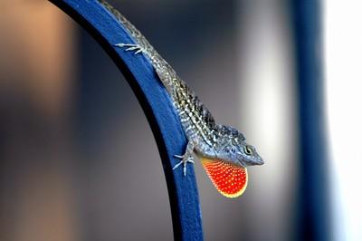 Ruffed Mane Gecko