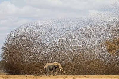Red-billed Queleas and Elephant