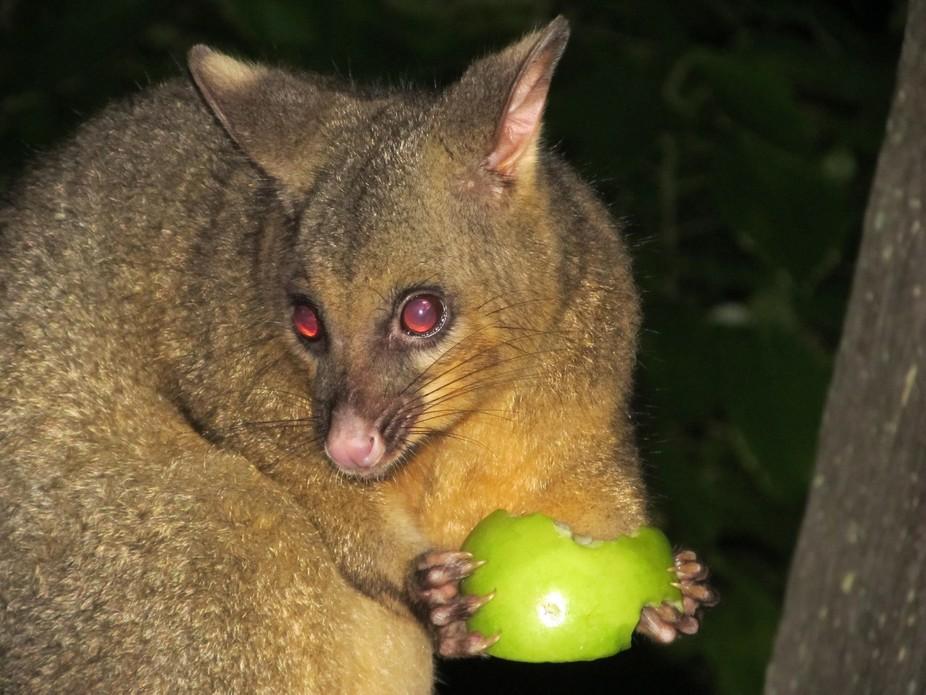 Possum in Harvey Bay Australia