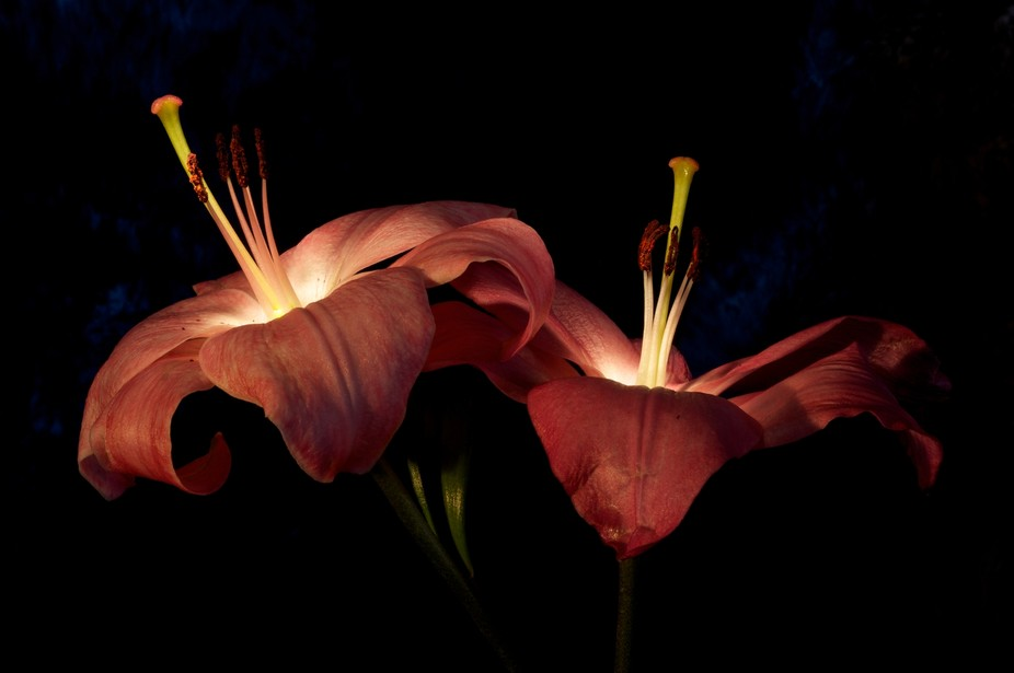 Two lilies a glow with love