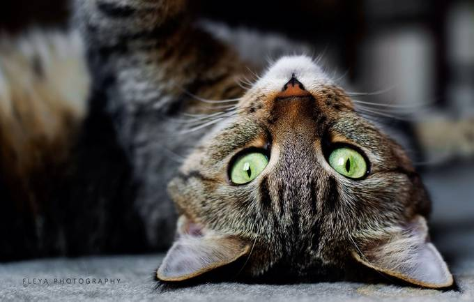 Up Side Down by LittleFleya - Feline Beauty Photo Contest