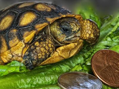Baby Florida Gopher Tortoise