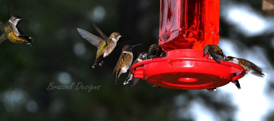 Several hummingbirds enjoying a feeder.