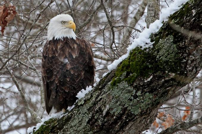Bald Eagle by Rusmwood - Animals And Rule Of Thirds Photo Contest