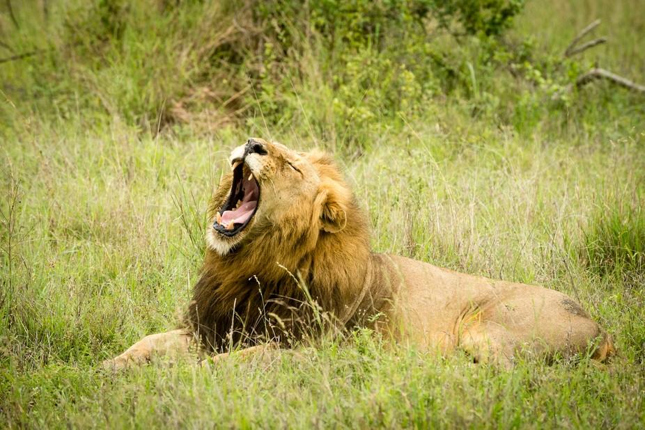 A lion yawns before a nap.