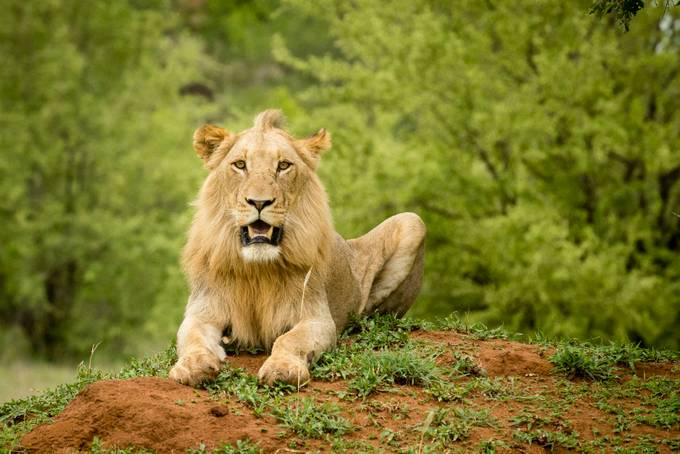 Old Timer Lion by MichaelBagleyPhotography - Explore Africa Photo Contest