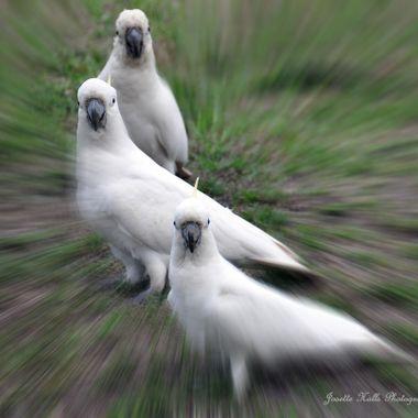 Sulphur Crested Cockatoos - Australia