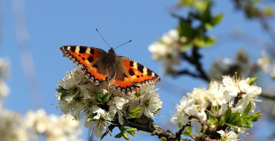 Small Tortoiseshell Butterfly, on Blackthorn blossom