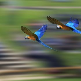Parrots on the wing
