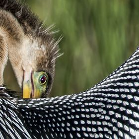 Anhinga grooming during breeding season- Everglades