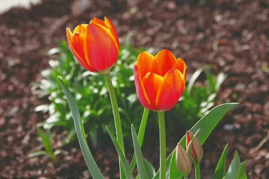 This tulip was taken in my front yard just as it opened up.